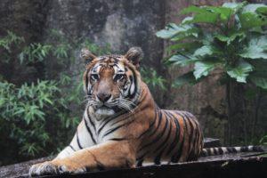 jungle de Sumatra